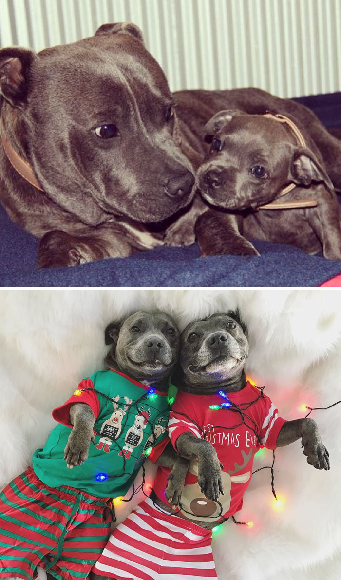 50 Heart-Warming Photos of Animals Growing Up Together - Adorable Pit Bulls Growing Up Together