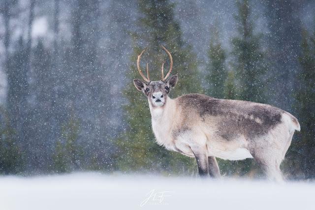 caribous, caribou, caribous forestiers, charlevoix, quebec, canada, wildlife, wild, winter, snow, hiver, neige, jérémie leblond-fontaine