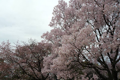 Cherry Blossom Trees and the sky at Imperial Palace Tokyo