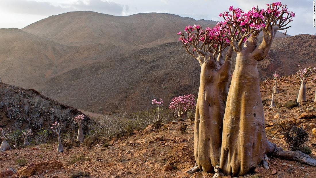 Among Socotra's unique plant life is the dragon blood tree, which oozes dark red sap when damaged, and the bottle tree, which looks like a massive elephant leg with pink flowers sprouting on top. Not yet discovered by the masses, Socotra has pristine white coastal dunes that are constantly reshaped by wind during the monsoon.