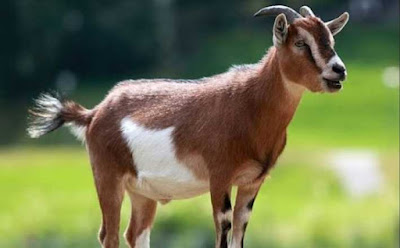 Ternak kambing modern