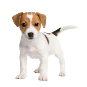 Everything about your Jack Russell Terrier