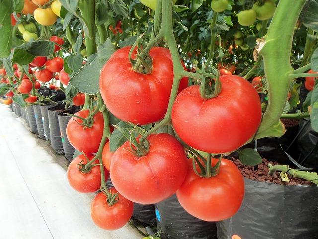 panen buah tomat