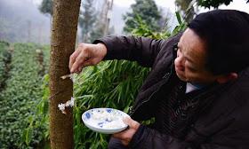 Pokok diberi makan nasi sama seperti manusia.