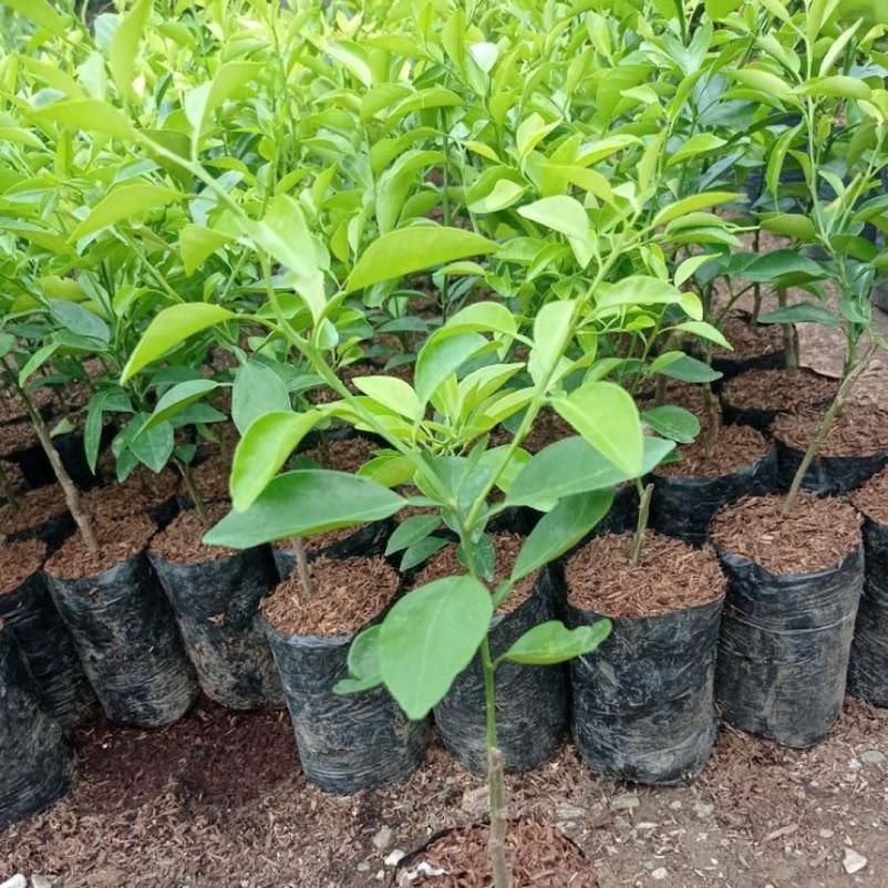 Pohon Jeruk Limo tanaman jeruk limo jeruk Limo Maluku