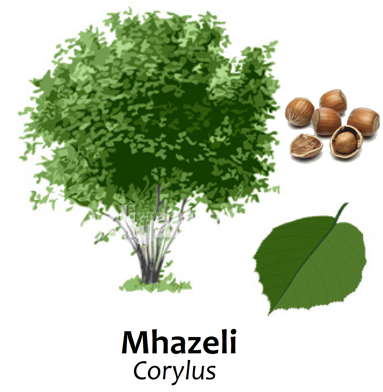 Translations Into Italian: Swahili Land: Mhazeli (Hazelnut Tree
