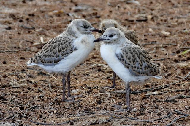 Möwen jung drei zusammen Nest Nestlinge Heron Island Insel Vögel