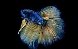 Memulai Bisnis Ikan Cupang untuk Pemula