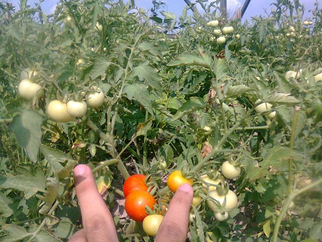 Tanaman Rampai (Tomat) Secara Organik Berbuah Lebat