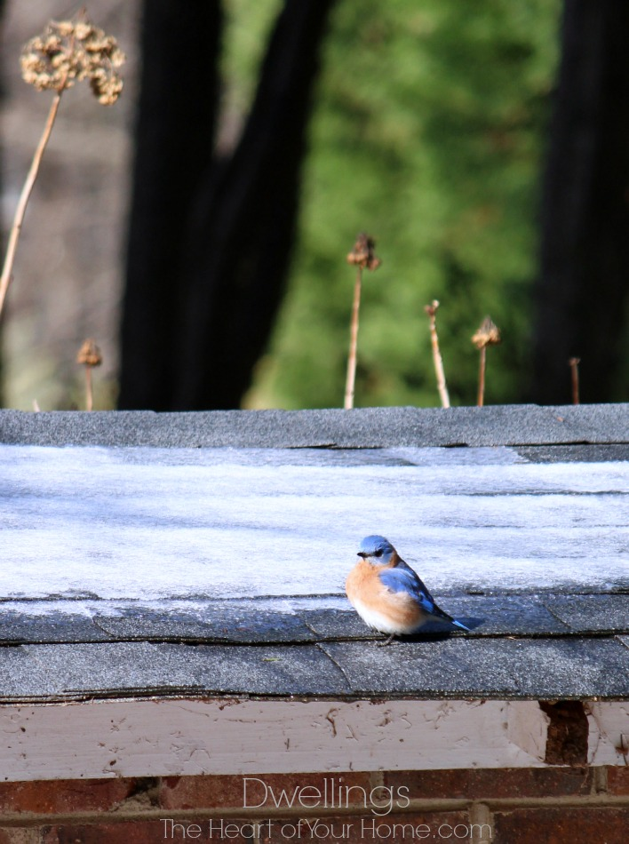 bluebird on the well house
