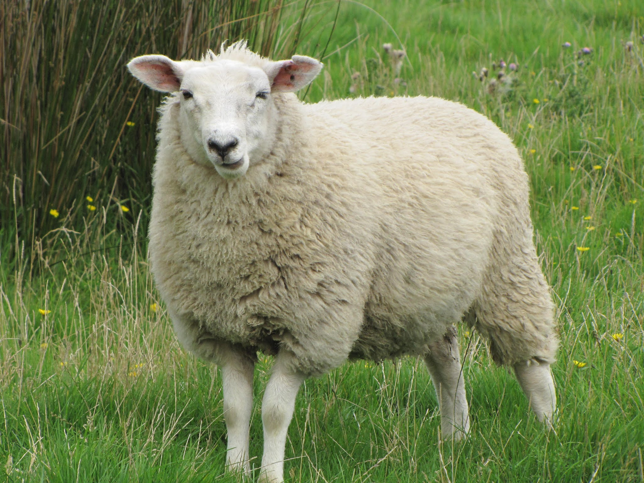 Sheep provide New Zealanders with cheaper meat, known as mutton.