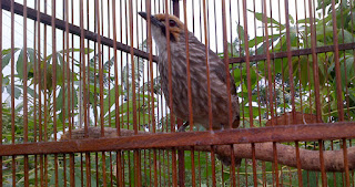 Burung Cucak Rowo - Cara Merawat Cucak Rowo Agar Cepat Gacor dan Ngropel - Penangkaran Burung Cucak Rowo
