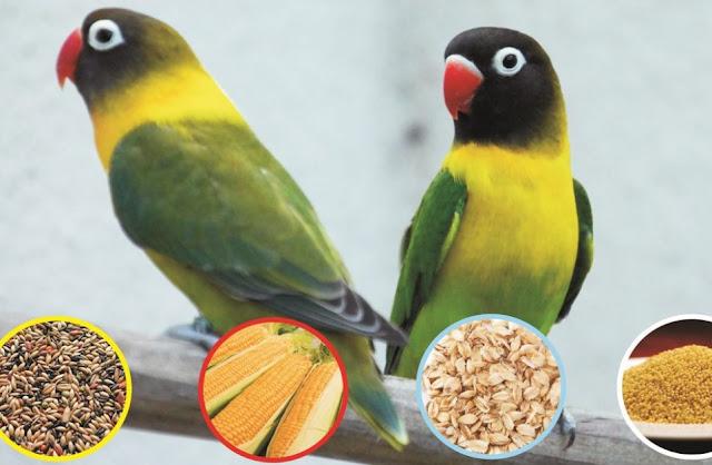 pakan Love Bird