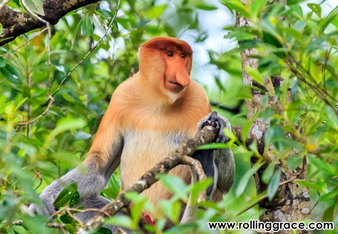 proboscis monkey sabah