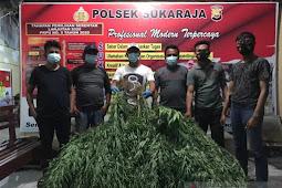 Polisi Bongkar Dua Ladang Ganja Berkedok Kebun Kopi di Seluma