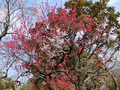 東慶寺の緋桃