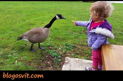 Funny duck and babies