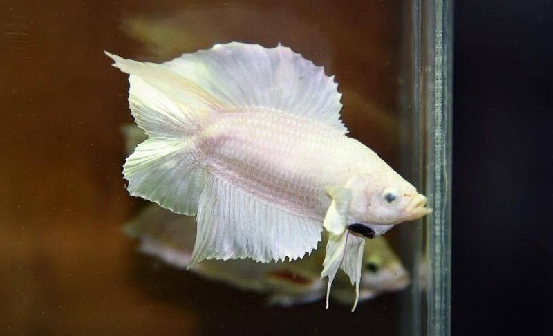 Image Double Tail Betta