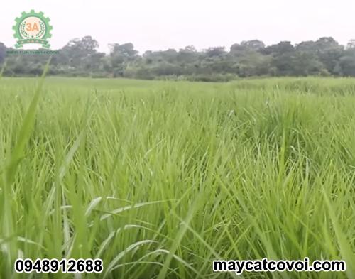 Máy cắt cỏ voi 3A8Hp thích hợp sử dụng trên các cánh đồng lớn