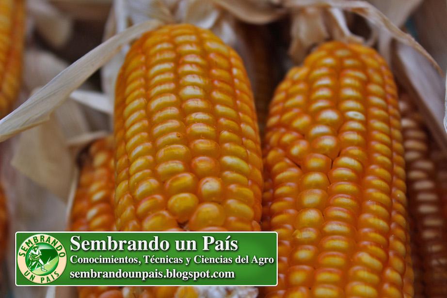 mazorcas de maíz bien conformadas