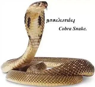 நாகப்பாம்பு - நல்ல பாம்பு - Cobra Snake - Indian Cobra - part 1.