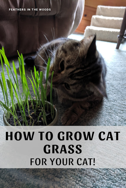 growing cat grass