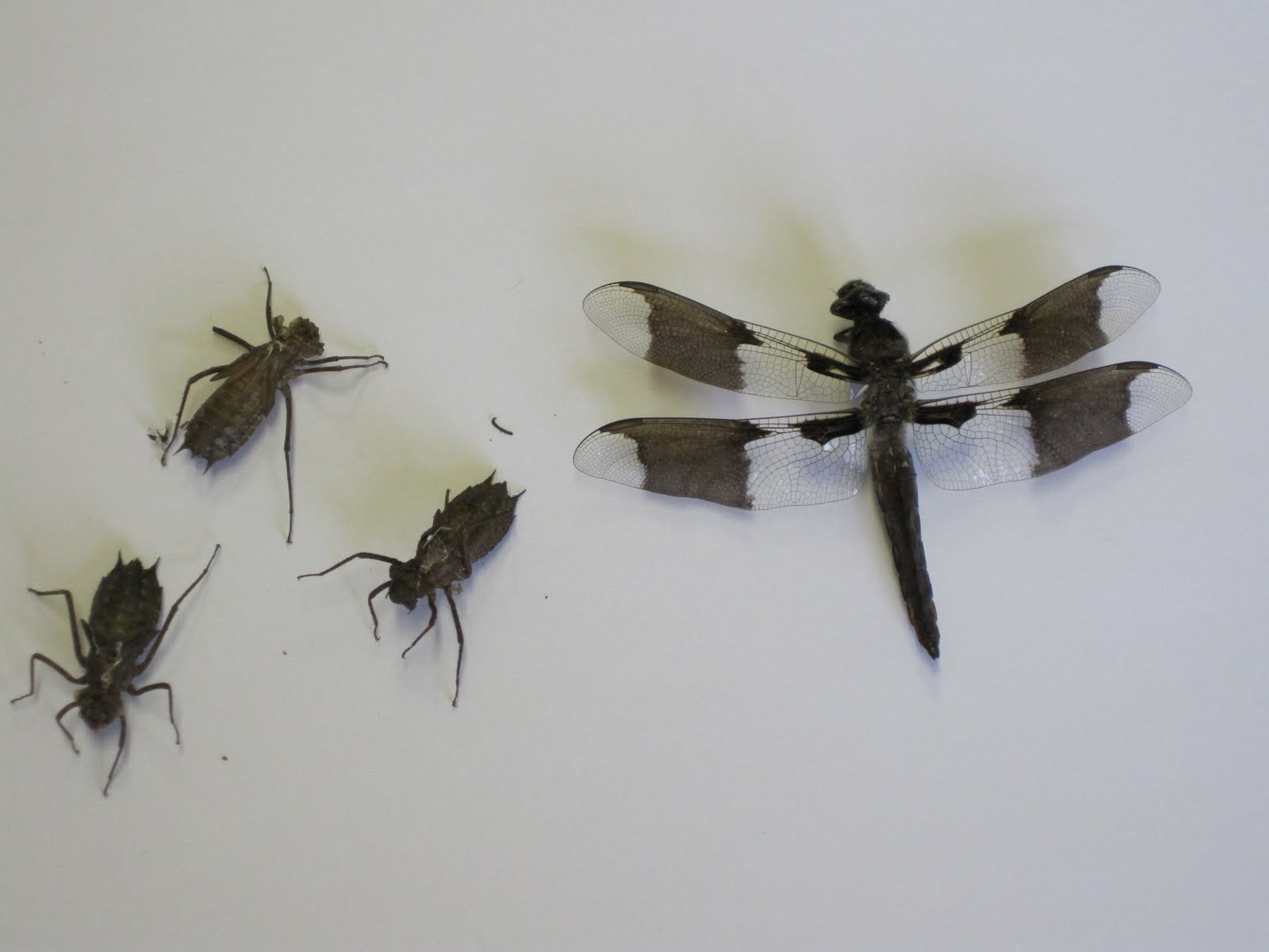 Lifecycle Of A Dragonfly