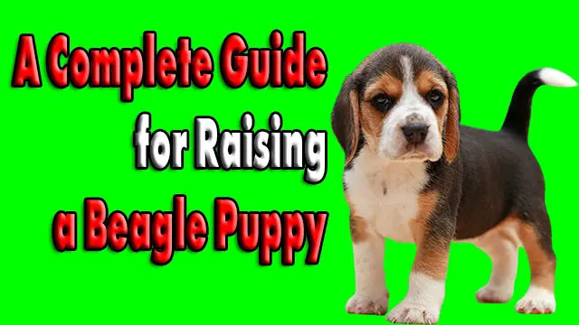 A Complete Guide for Raising a Beagle Puppy