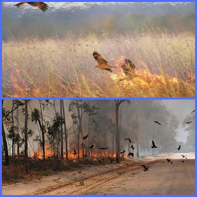 """علماء يؤكدون أن طائر """" الحدأة """" هو من ساهم في نشر حرائق غابات استراليا"""