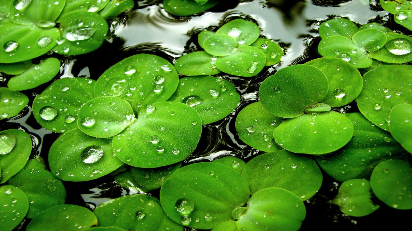 Water Drops On Leaves Hd Desktop Wallpapers For Android Top Level