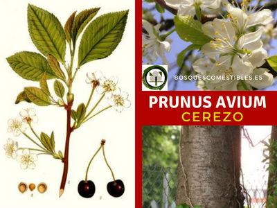 Prunus avium, Cerezo, es un árbol frutal que puede alcanzar más de 15m. de altura