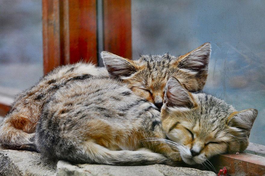 sand-cats-kittens-forever-11