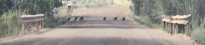 Turkeys getting to the other side of the road.  ©PeterMiesler