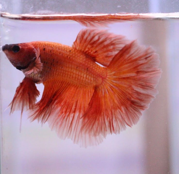 Image Red Betta 1