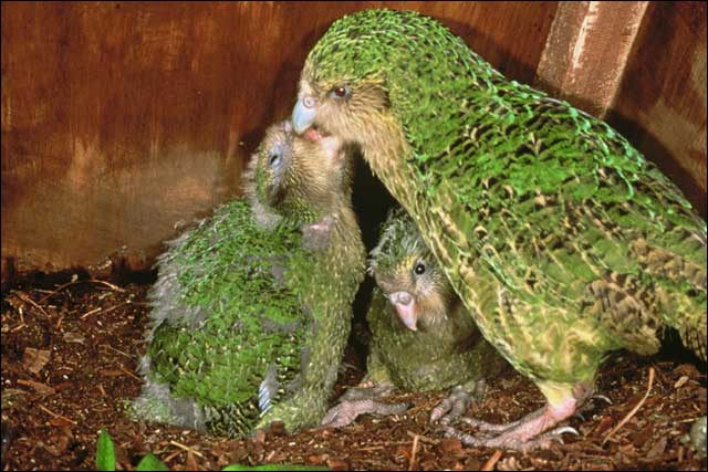 kakapo wikipedia español