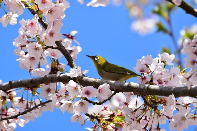 Wallpaper bunga sakura