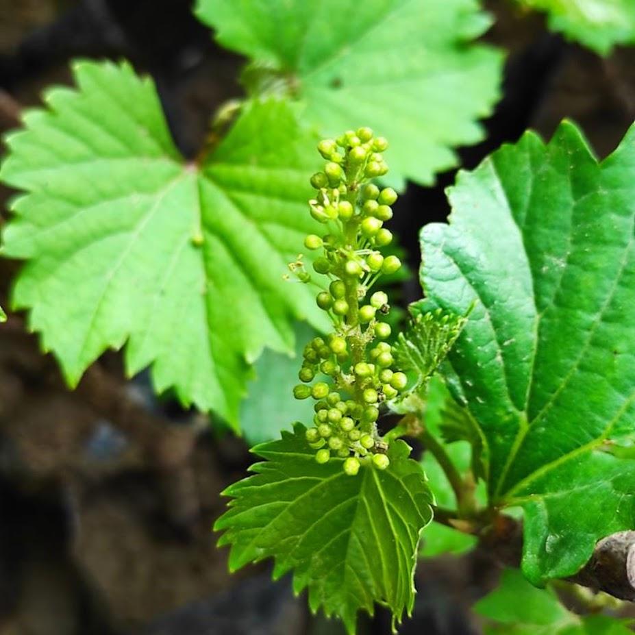 Bibit anggur berbunga Kalimantan Timur