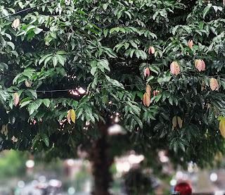 Pohon kepel dengan daun warna-warni, bukan hanya hijau (dokumen pribadi)
