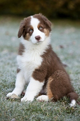 Circle C Australian Shepherds Andi Carter&#39...
