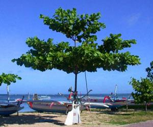 Pohon ketapang tanaman peneduh