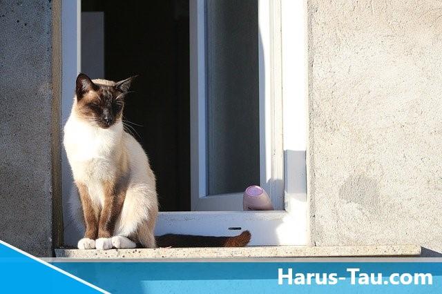 Mitos Dan Fakta Tentang Kucing Siam