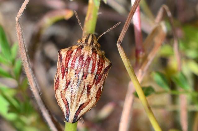 Odontotarsus robustus