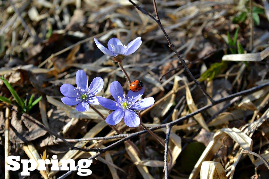 Hepatica wildflowers