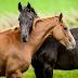 प्यार के मामले में बहुत आगे है घोड़े, आपदा आने पर मादा के लिए जान दे देते है नर घोड़े