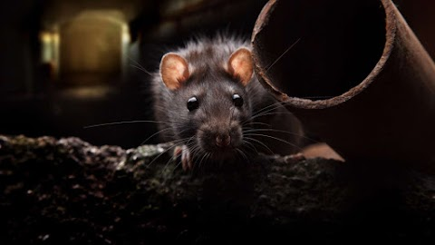 Értelmezhetetlenek a patkányirtási ügyben benyújtott ellenzéki javaslatok