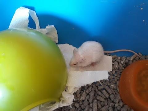 López (ratón macho)