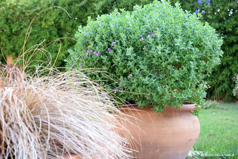 Polygala myrtifolia x oppositifolia 'BiBi Pink '