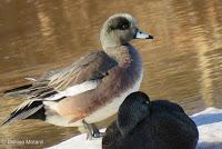 Male American Wigeon has black legs - Ellen's Creek, PEI, © Denise Motard