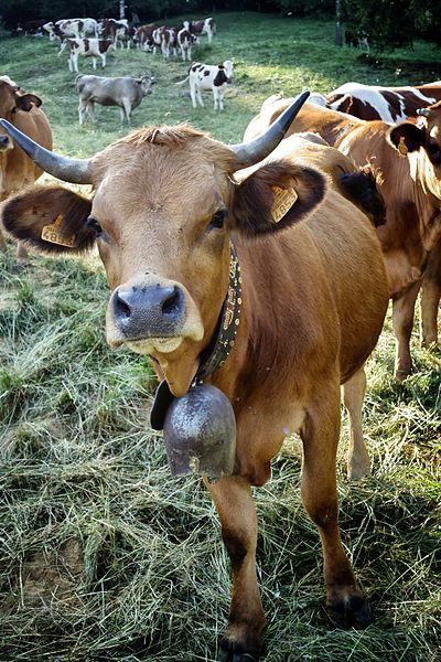 https://commons.wikimedia.org/wiki/File:Happy_Cow_(19805268310).jpg