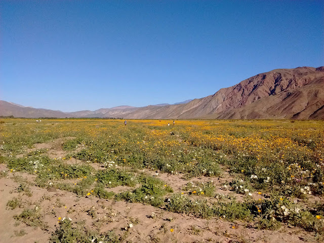Desert sunflowers on Henderson Road